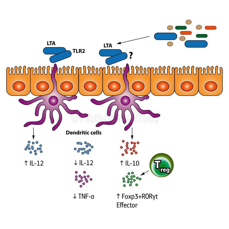 Stimulation of the Regulatory T cells illustration. Stimulation of the Regulatory T cells vector medical illustration vector illustration