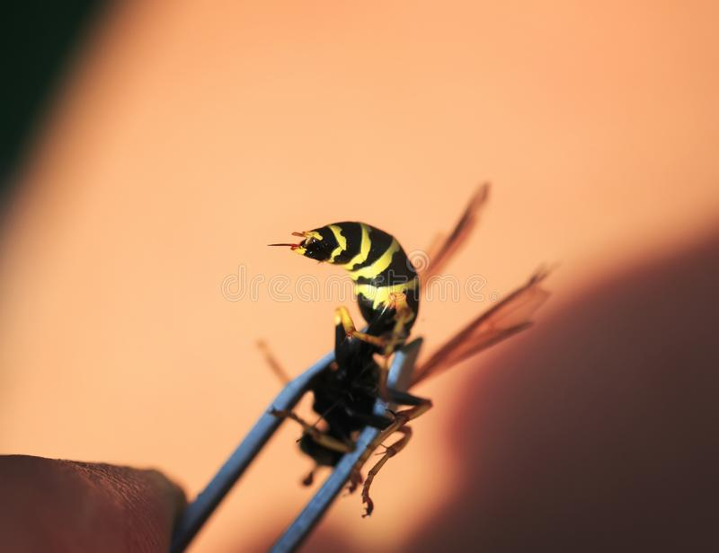 sting dangerous wasp trapped in a metal crimper bit stock photos