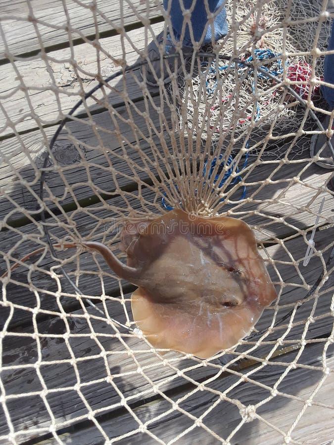 Sting Ray photo libre de droits