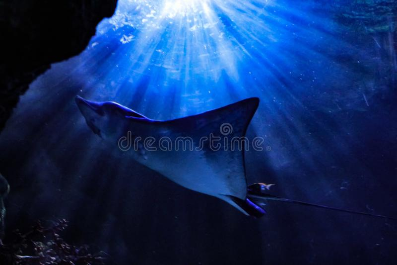Sting Ray royaltyfri foto