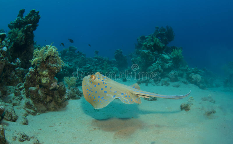 Download Sting ray stock photo. Image of egypt, deep, aquatic - 16274976