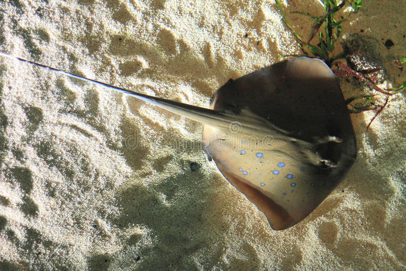 Download Sting ray stock photo. Image of sting, exotic, selachian - 26006472
