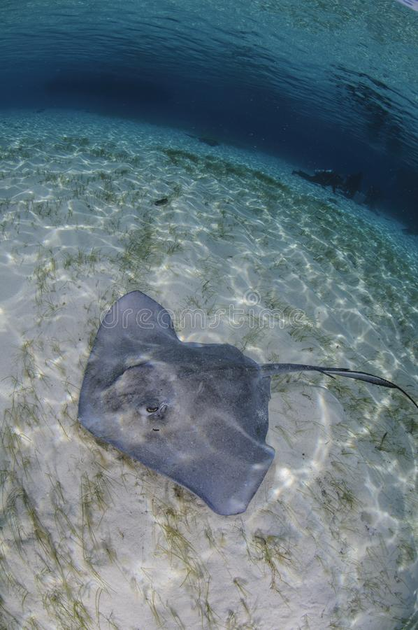 Sting Ray på Sandy Bottom av Bahamas royaltyfria bilder