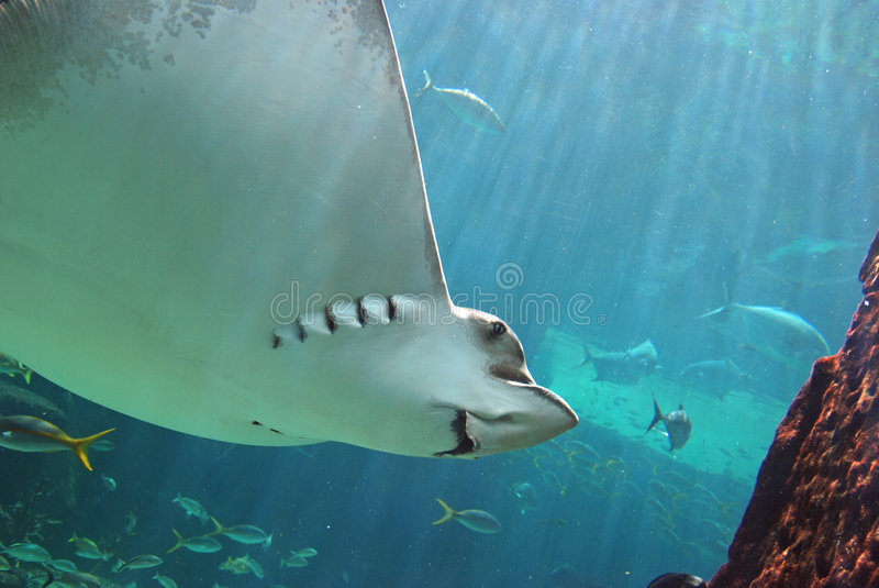 Sting Ray Smiling Underwater stock photography