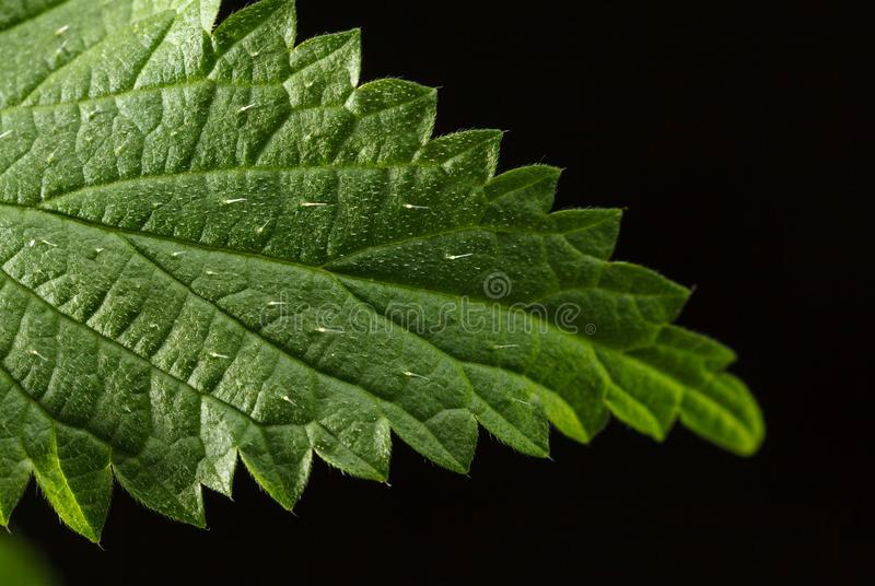 Stinging hairs on nettle leaf. Macro of stinging hairs or defensive trichomes filled with irritants on stinging nettle Urtica dioica leaf over black background royalty free stock image
