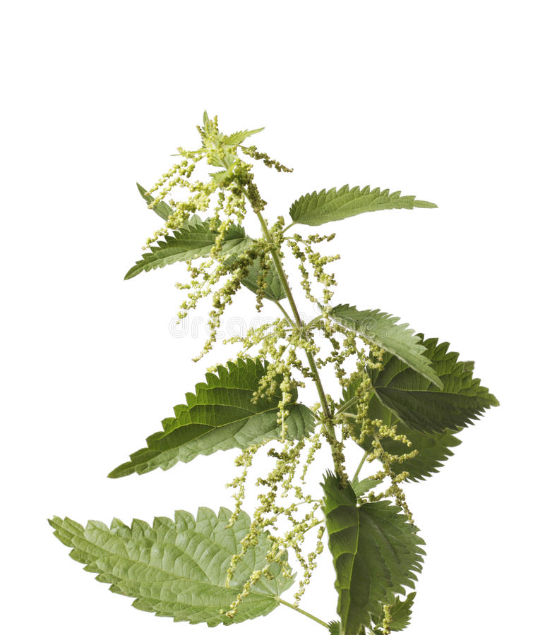 Download Stinging Nettle Royalty Free Stock Photo - Image: 15066225
