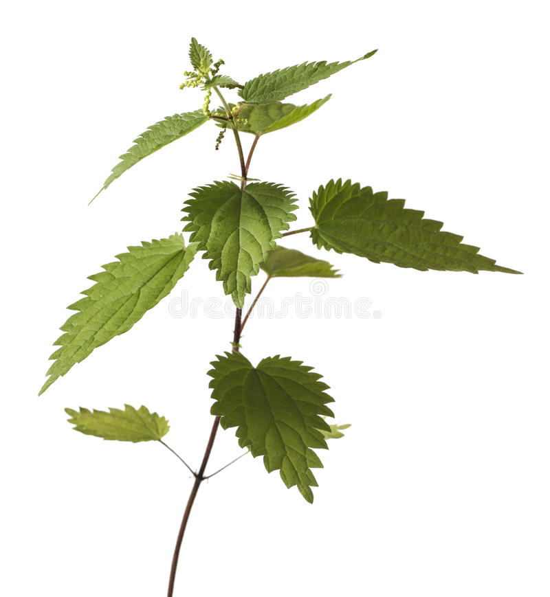 Download Stinging Nettle stock image. Image of isolated, flora - 15331897