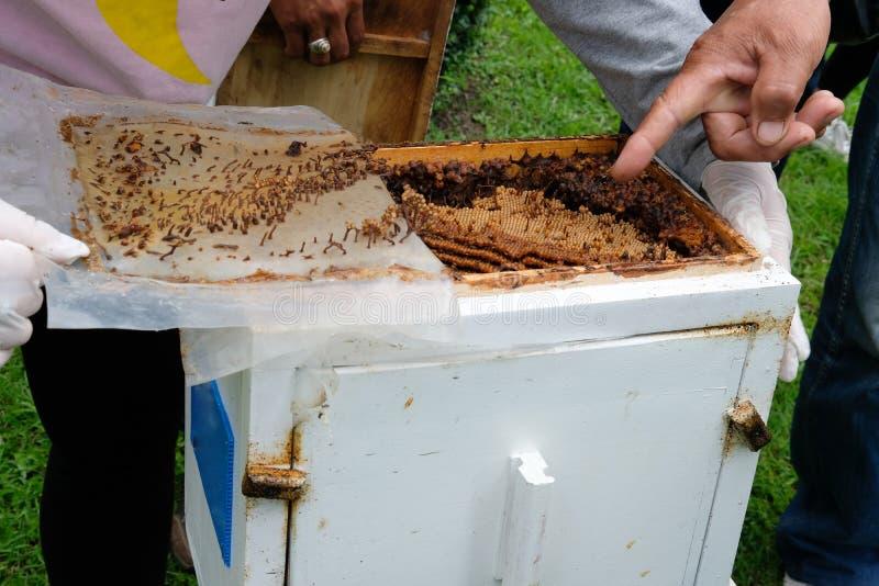stingless honingbijenbijenkorf de koloniesrearin van trigonameliponini royalty-vrije stock foto's