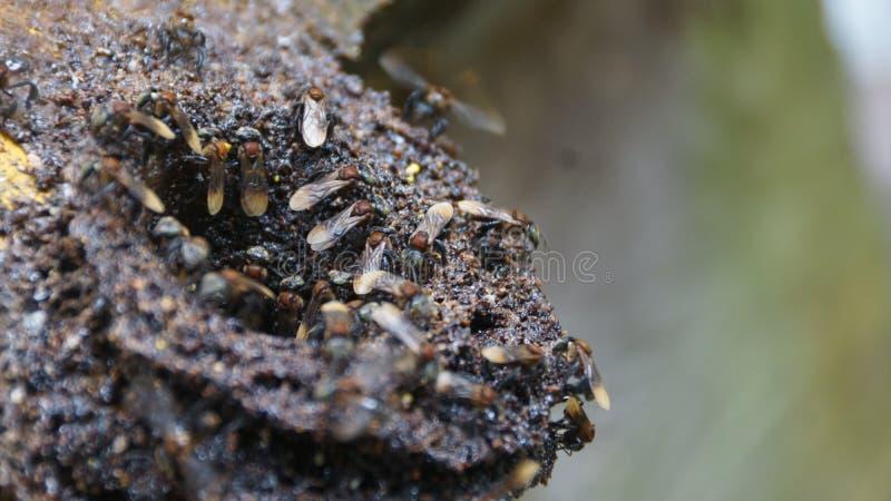 Stingless honingbijnest op een houten structuur stock fotografie