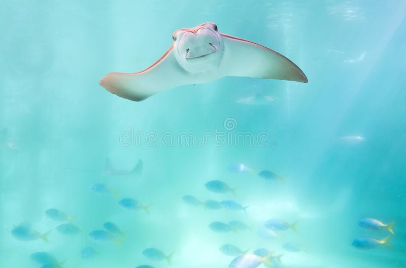 stingray royalty-vrije stock fotografie