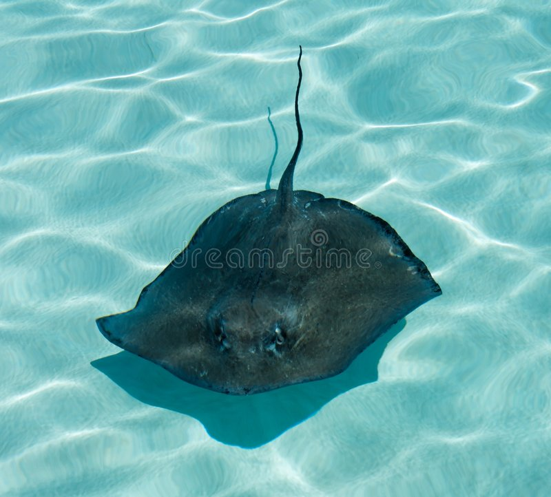 Download Stingray stock image. Image of caribbean, stingray, aquatics - 4014237
