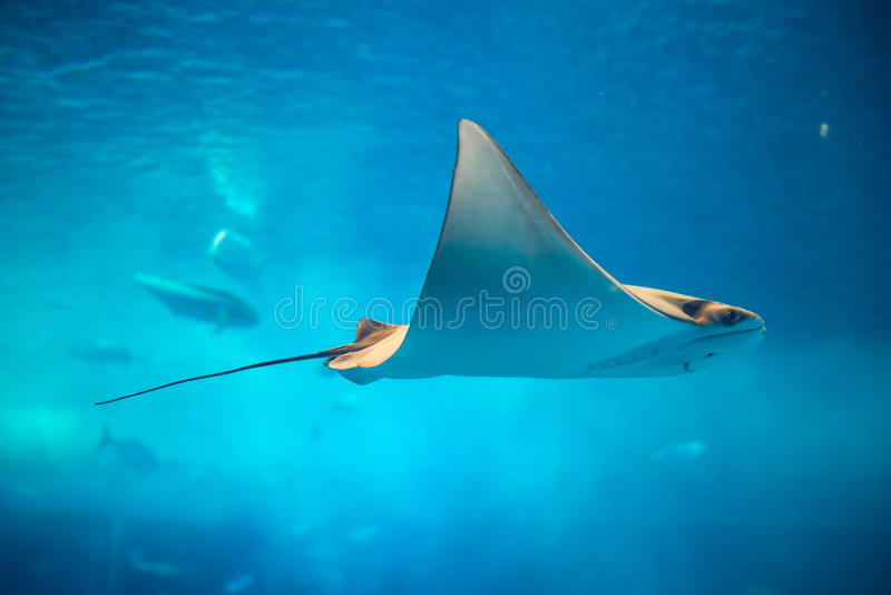 stingray images stock
