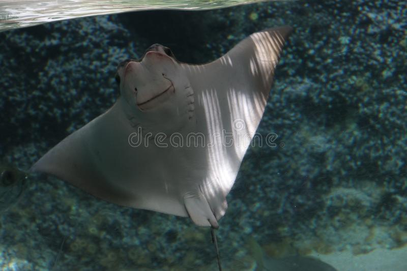 Stingray in a aquarium at the Rotterdam Blijdorp Zoo in the Netherlands royalty free stock photos