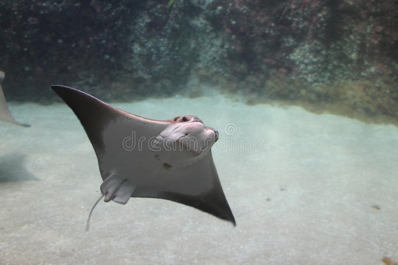 Stingray in the Rotterdam Zoo. Stingray in the Blijdorp Rotterdam Zoo royalty free stock images