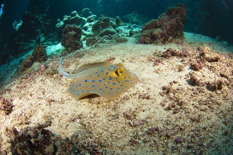 stingray Blu-macchiato sul fondale marino fotografie stock libere da diritti