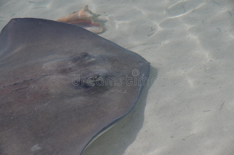 Stingray and Conch Shell stock photo
