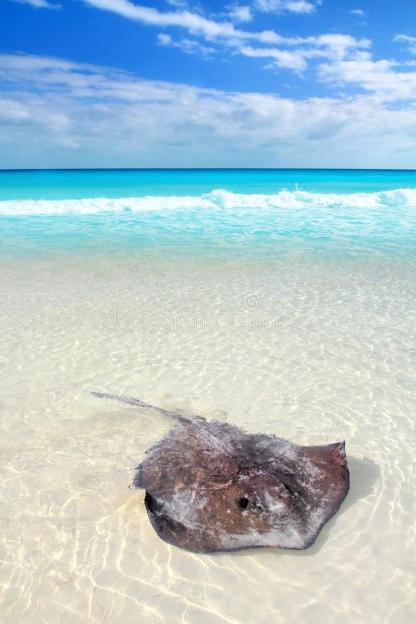 Download Stingray Dasyatis Americana In Caribbean Beach Stock Image - Image: 19162159