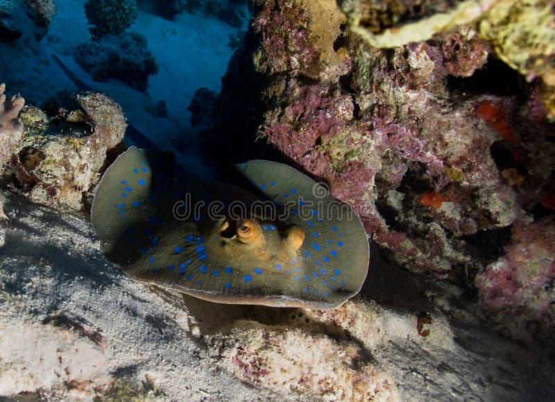 Stingray de Bluespotted photo stock