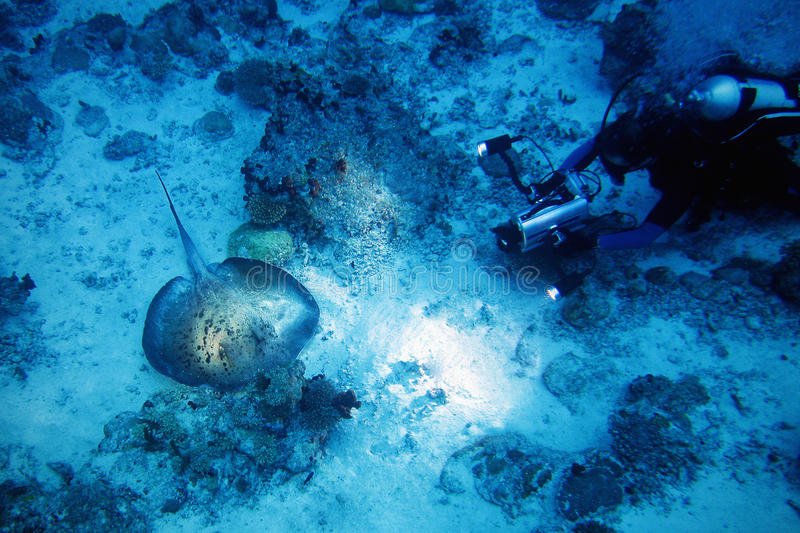 Stingray and diver royalty free stock photos