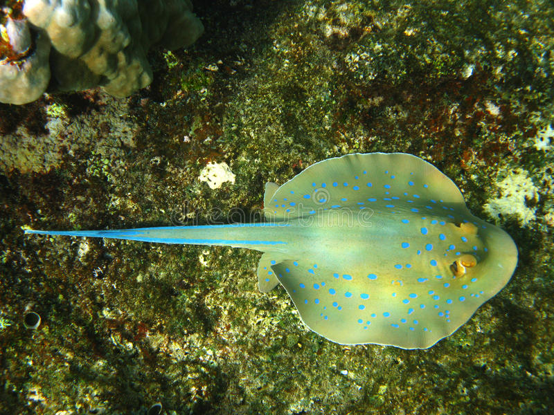 stingray e barriera corallina Blu-macchiati fotografia stock libera da diritti