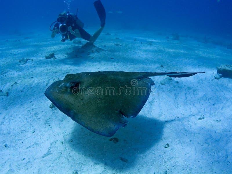 Stingray e fotógrafo subaquático fotografia de stock royalty free