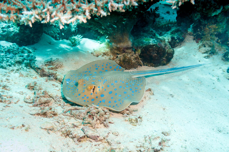 Stingray hiding in the corals. SKAT igloos resting under a coral umbrella royalty free stock photo