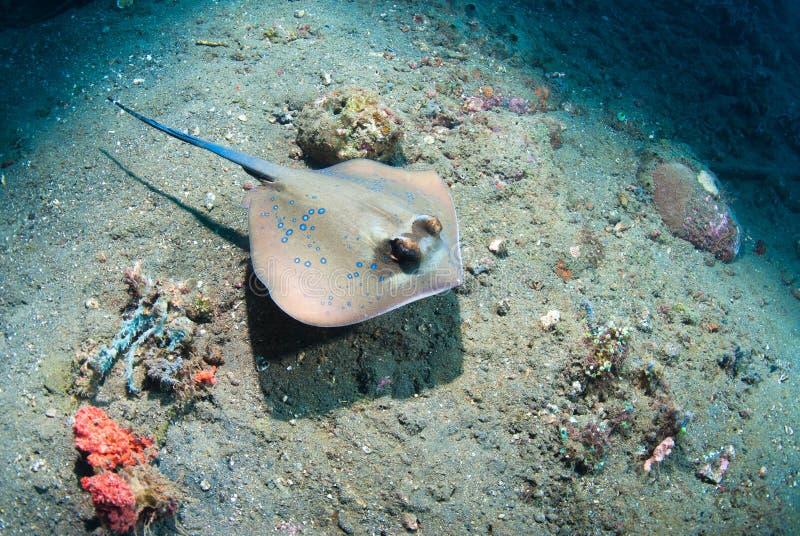 Stingray macchiato blu fotografie stock libere da diritti