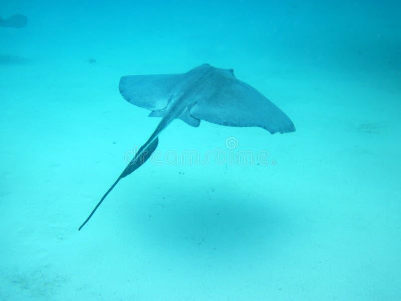 Stingray no oceano imagem de stock