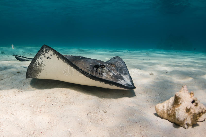 Stingray on the sane. Southern Stingray swimming over the sand stock photo