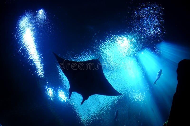 Stingray schwytany podwodny obraz stock