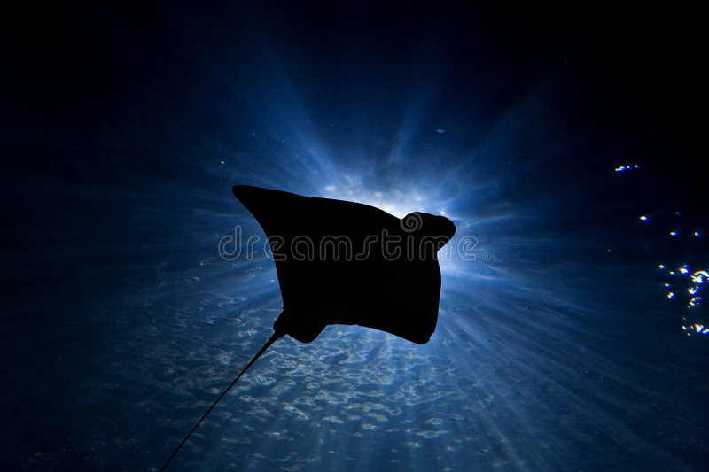 Stingray Silhouette. Stingray swims through a ray of light in the ocean