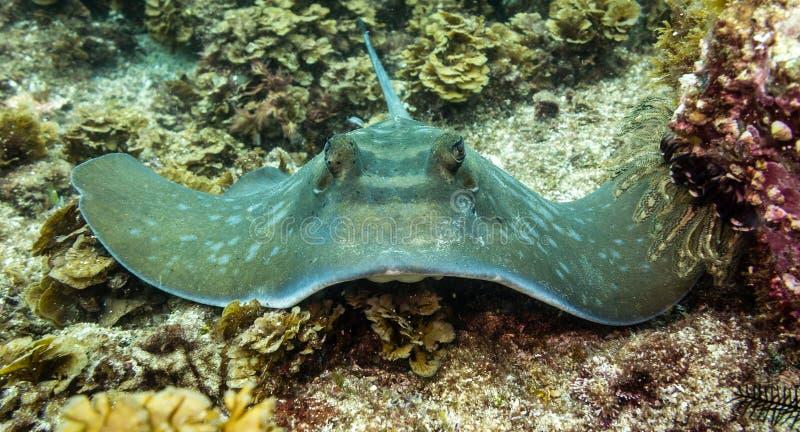 Stingray sul fondo dell'oceano che guarda diritto - Byron Bay New South Wales immagini stock