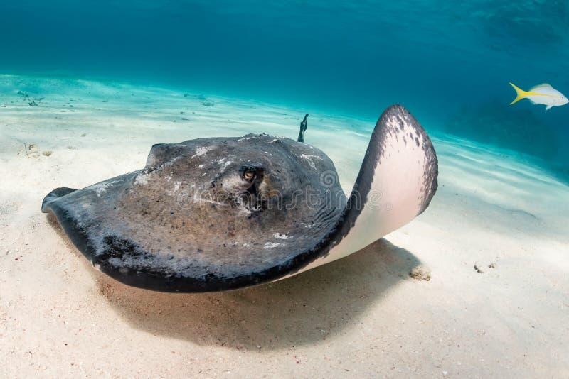 Stingray sulla sabbia fotografie stock libere da diritti