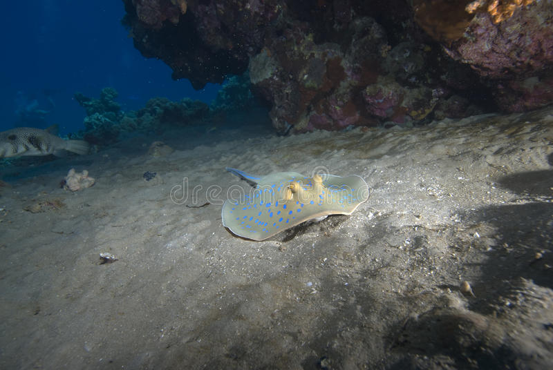 Stingray sur le sable images libres de droits