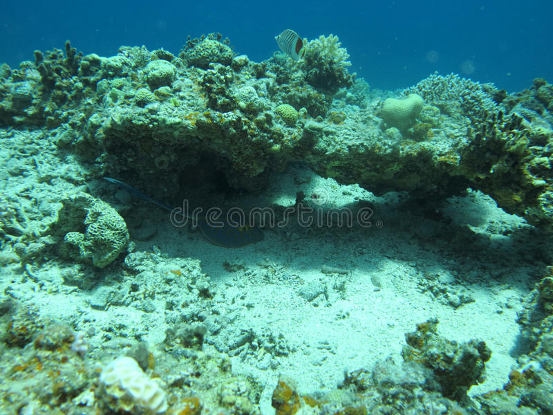 Download Stingray tail stock image. Image of underwater, israel - 26500341