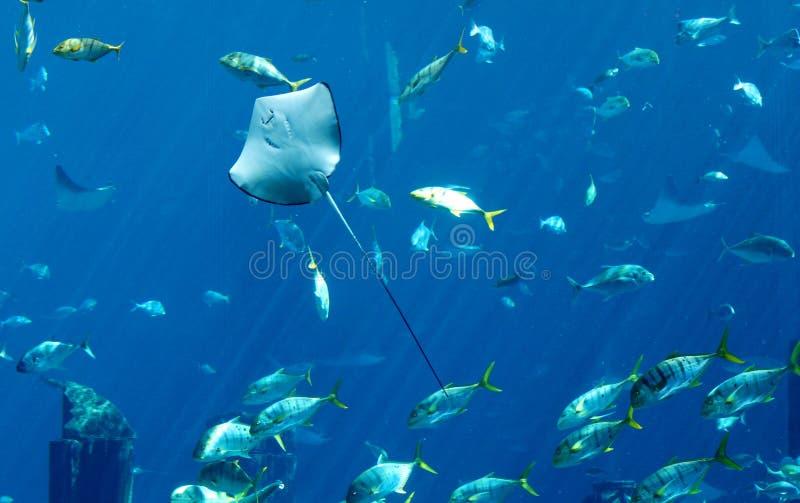 Stingray und Fische stockfotos