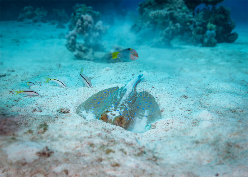 Stingray underwater behaviour stock image