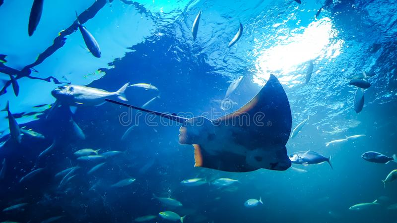 Stingray in the water royalty free stock images