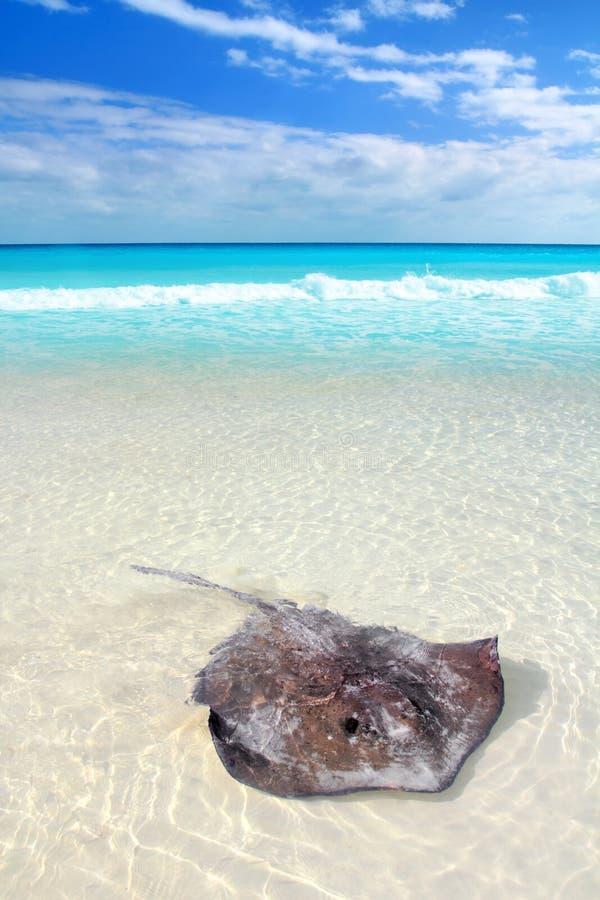 StingrayDasyatis Americana im karibischen Strand lizenzfreie stockbilder