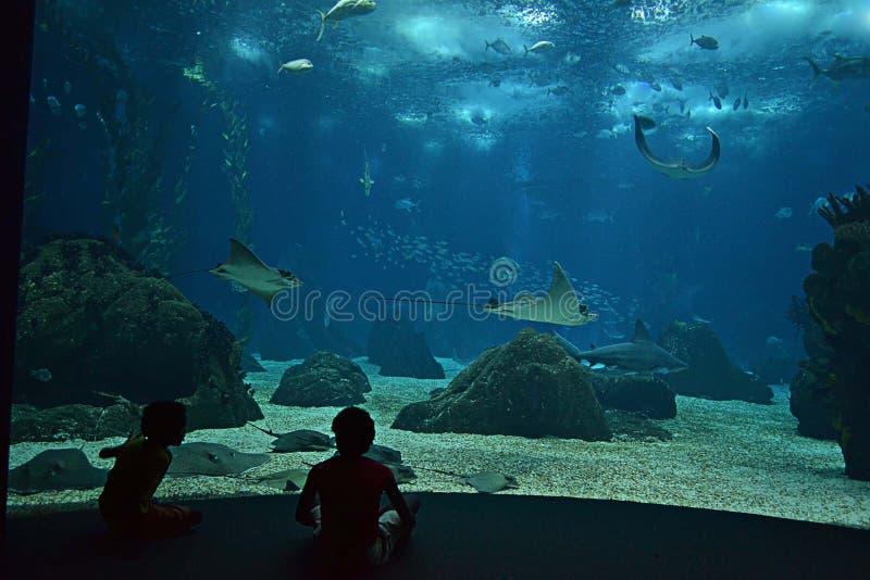 Stingrays in the aquarium royalty free stock images