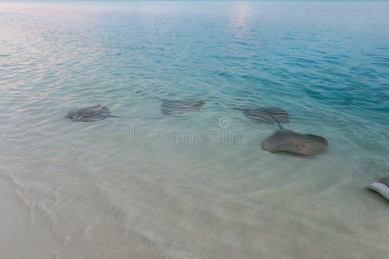 Stingrays pływali brzeg cieszyć się wyśmienicie posiłek zdjęcia stock