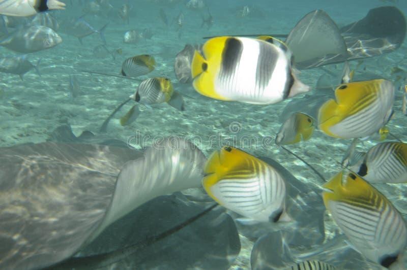 Stingrays & Tropical fish royalty free stock photos