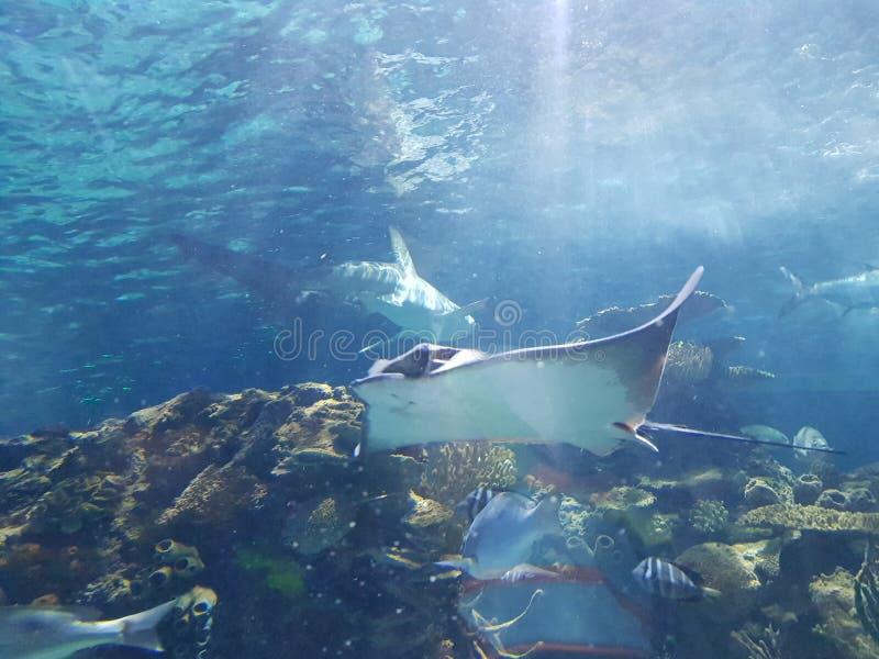Stingrocka och haj för marin- liv royaltyfri bild
