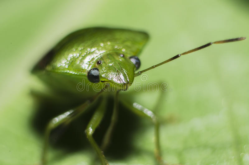 Download Stink Bug Royalty Free Stock Image - Image: 25623976