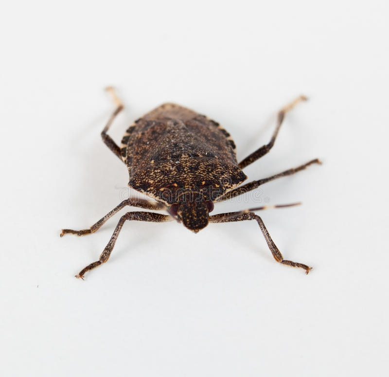 Free Stink Bug Facing The Camera Royalty Free Stock Photography - 12513867
