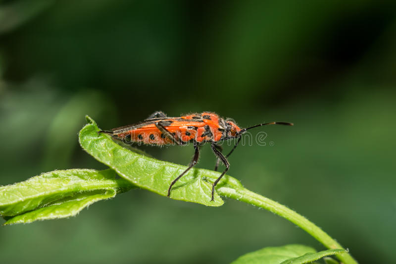 Stink bug royalty free stock photos