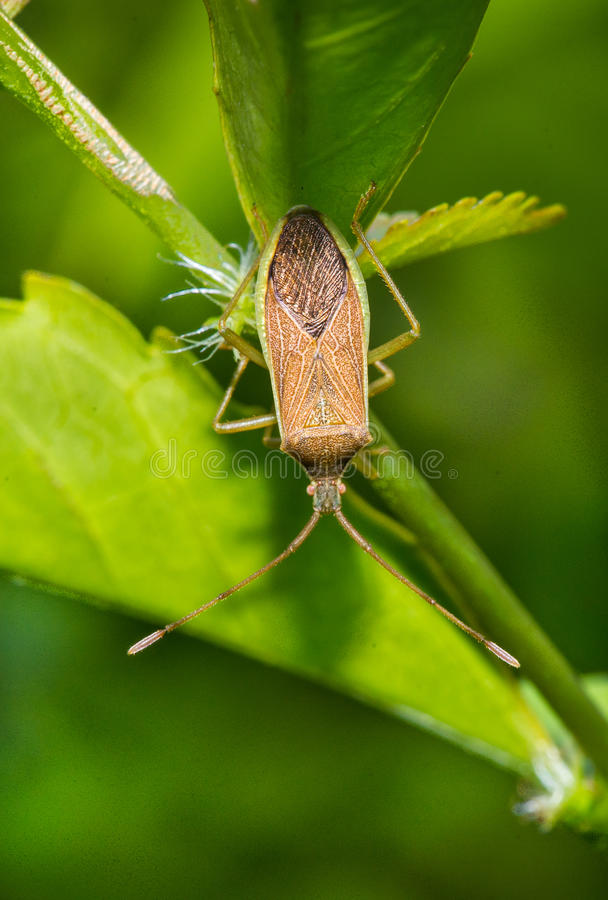 Stink Bug On The Green Leaf Stock Image - Image of nature, bamboo ...