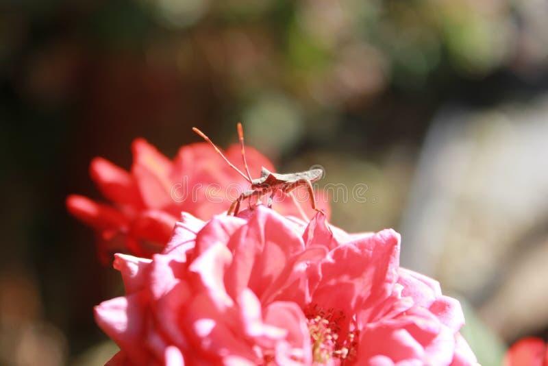 Stink bug / Shield bug sitting on rose stock photo