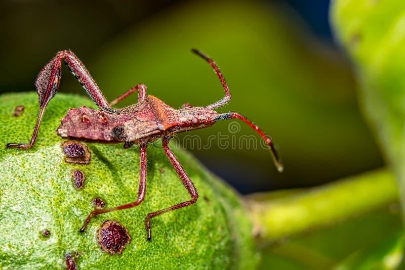 Stink insect op tak - macrofotografie van stink insect op een boomfruit - aardmacrophotography royalty-vrije stock afbeelding