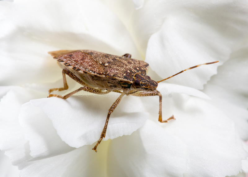 Download Stink Or Shield Bug On Carnation Stock Photo - Image: 21801488
